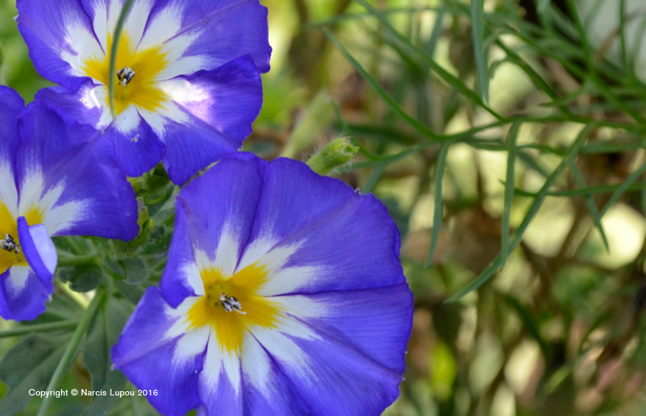 11--photo-by-narcis-lupou-blue-flowers
