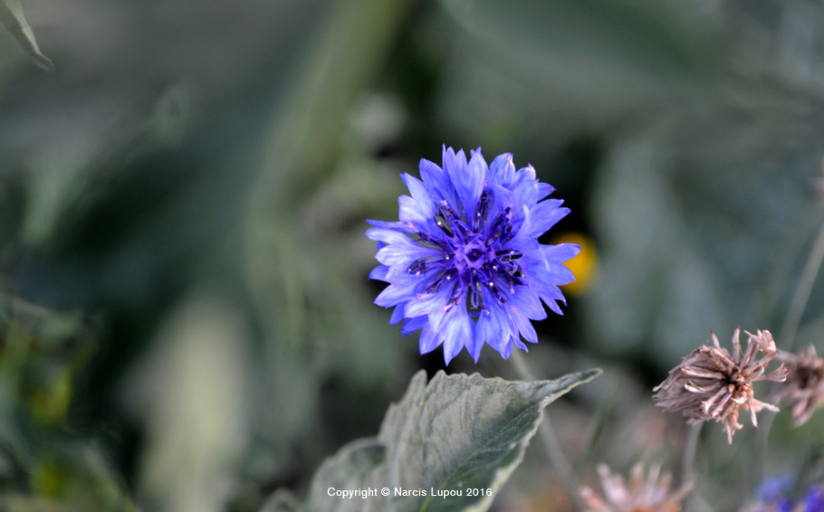 15-blue-flower--photo-by-narcis-lupou