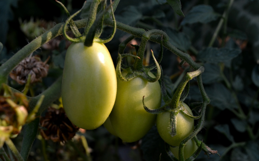 9-photo-by-narcis-lupou-green-tomatoes